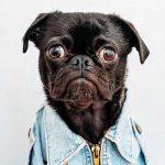 Black Pug day