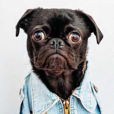 Black Pug day !